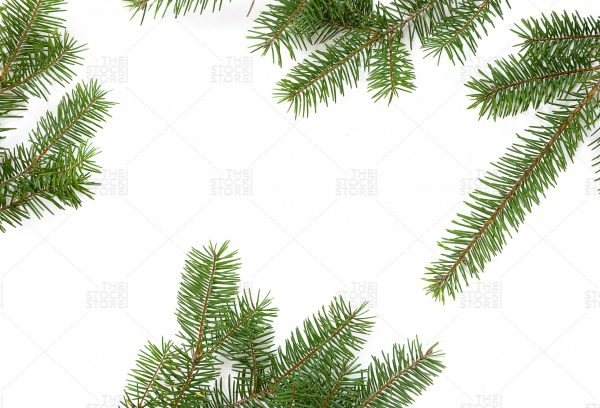 photo of Pine on white background